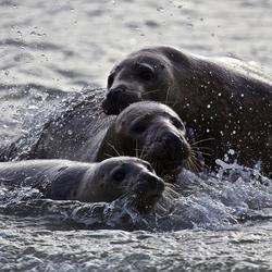 spelende zeehonden