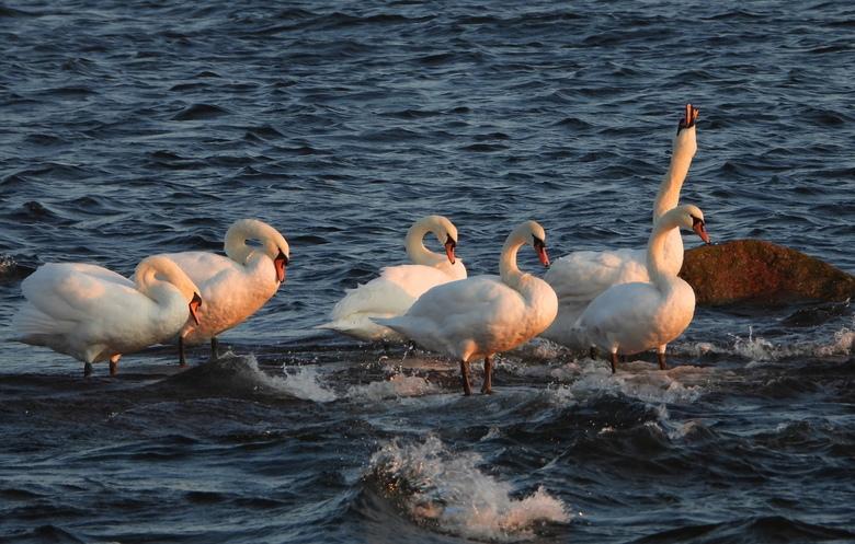 de familie Zwaan - het was kopud  maar ik dacht ik ga nog even bij zee kijken  en toen zag ik deze zwanen zwemmen en op een gegeven moment gingen ze b
