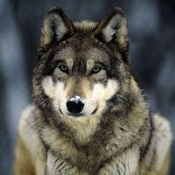 Grey-wolf