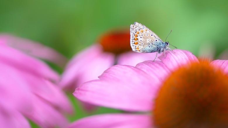 Op de zonnehoed - Het vlindertje is al op leeftijd, maar zocht een mooi plekje uit om te gaan zitten.<br /> <br /> Bedankt voor de leuke en bemoedig