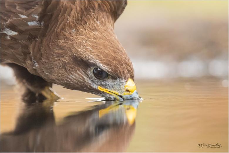 Buizerd drinkt  - Een close-up van een drinkende buizerd die ik afgelopen zomer tijdens de periode van droogte heb gemaakt. Droogte lokt vogels naar d