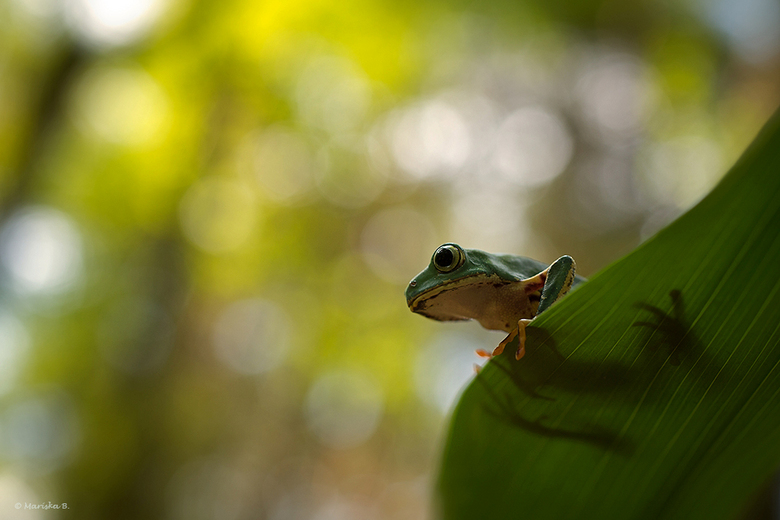 Ready to Jump... - Tiger leg monkey tree frog, Phyllomedusa tomopterna uit Suriname.<br />