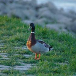 Duck aan de Waal