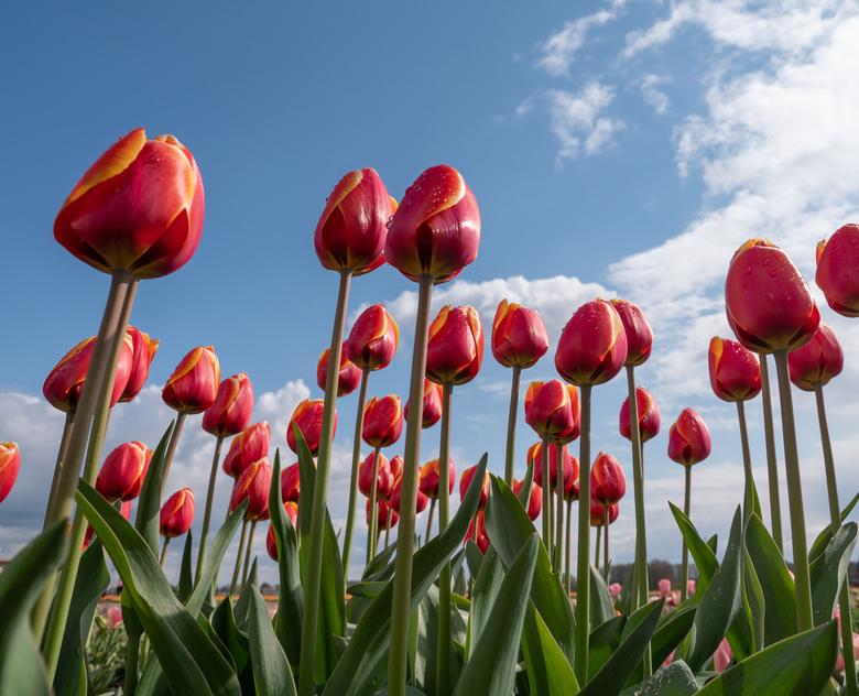 Tulpen uit .... - Wat is Nederland toch mooi !