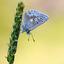 Noordelijk Manschildblauwtje