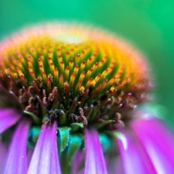 Euchinacea