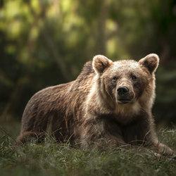 Balou de Bear.