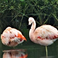 In het wild levende Flamingo's op het  Zwillbrocker Venn