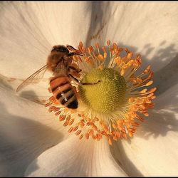 Ze zijn er nog onze Bijen