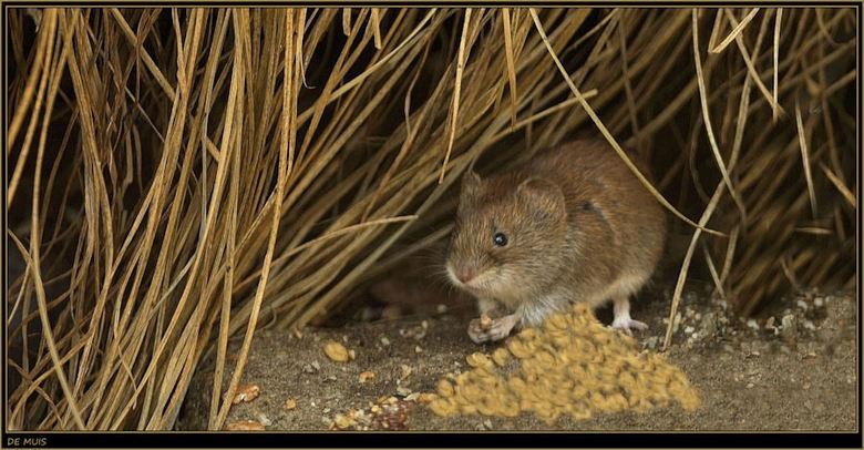 De muis, druk bezig met het opeten van een zaadje. - De muis, druk bezig met het opeten van een zaadje, wat hij mooi met zijn voorste pootjes vasthoud
