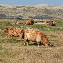 Texel Schotse hooglanders in natuurgebied het grote vlak.