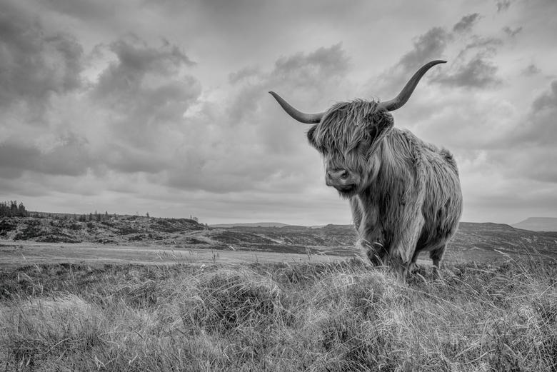 Bò Ghàidhealach - A curious Scottsih highland cow (Gaelic: Bò Ghàidhealach) in the hills near Staffin