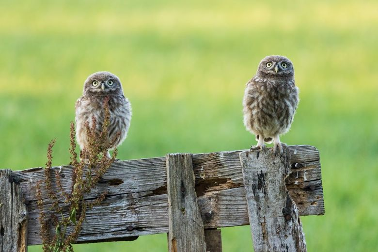 Kijk eens naar het vogeltje - Twee eigenwijze steenuiltjes.
