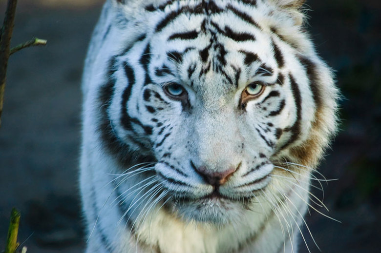 witte tijger - witte tijger