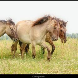 konikspaarden