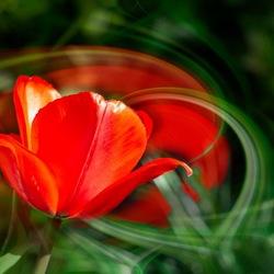 Swirl tulp