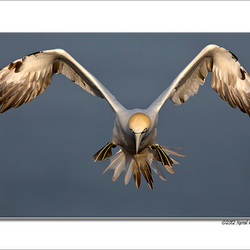 Gannet in focus