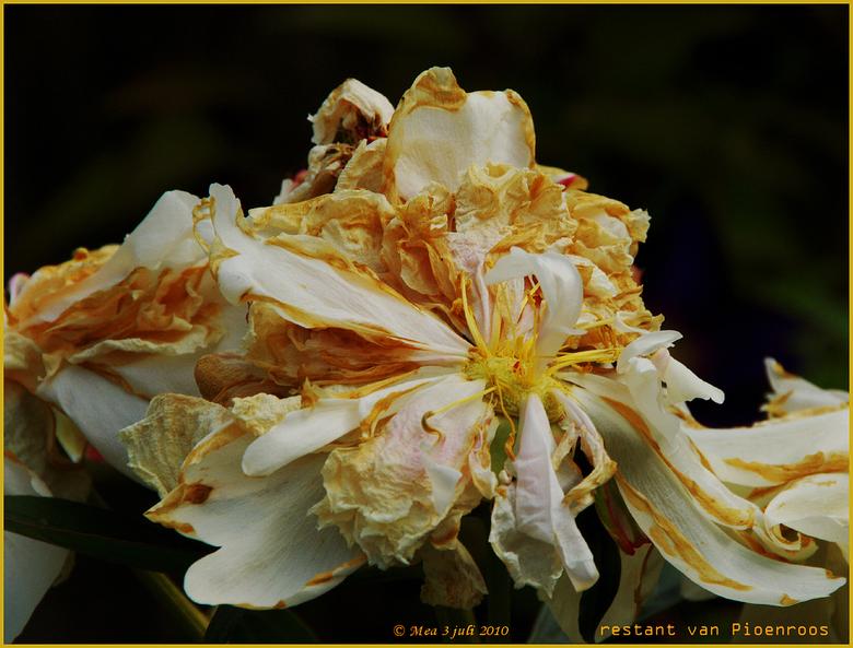 overblijfsel van een Pioenroos - De schoonheid is verdwenen met het tijdsverloop van de bloei.. en toch!