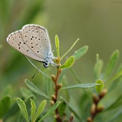 Gentiaansblauwtje