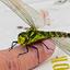 Groene Glazenmaker (Libel)_DSC8330