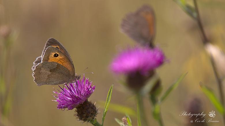 Bruin Zandoogje - Vlinders, altijd leuk om voor de lens te krijgen.<br /> <br /> Straks even afwezig en genieten van de vakantie. Iedereen die nog w