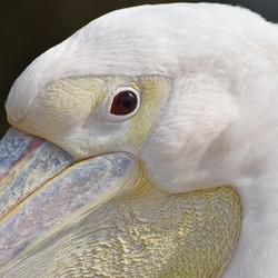 _Roze pelikaan