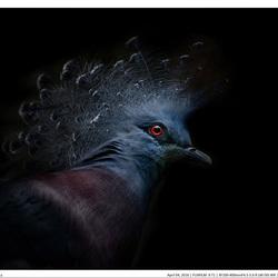Waaierduif (Goura victoria) uit Nieuw-Guinea
