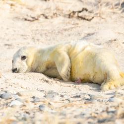 net geboren zeehond met navelstreng