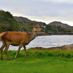 Red Deer Hinde