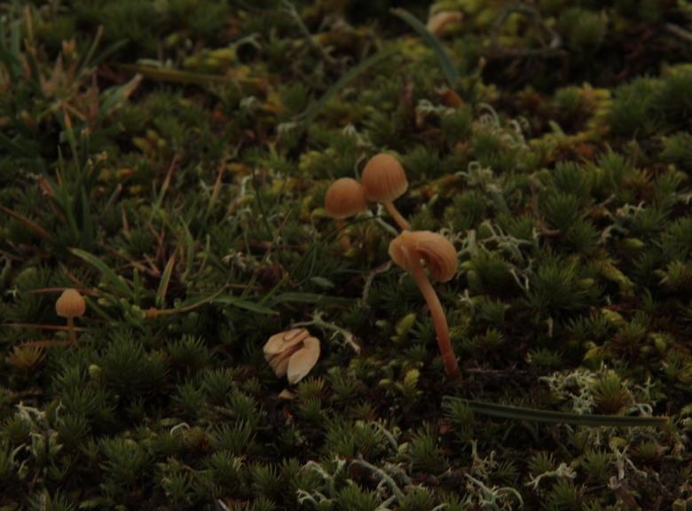 padestoelen tussen het mos - Een leuke foto van padestoelen in het mos