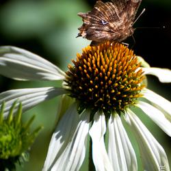 Vlinder op bloem echinaforce