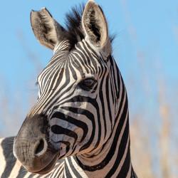 Zebra - Ithala Game Reserve