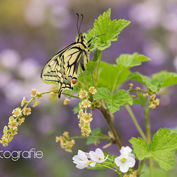 Old World swallowtail (Papilio machaon) in Limbabwe
