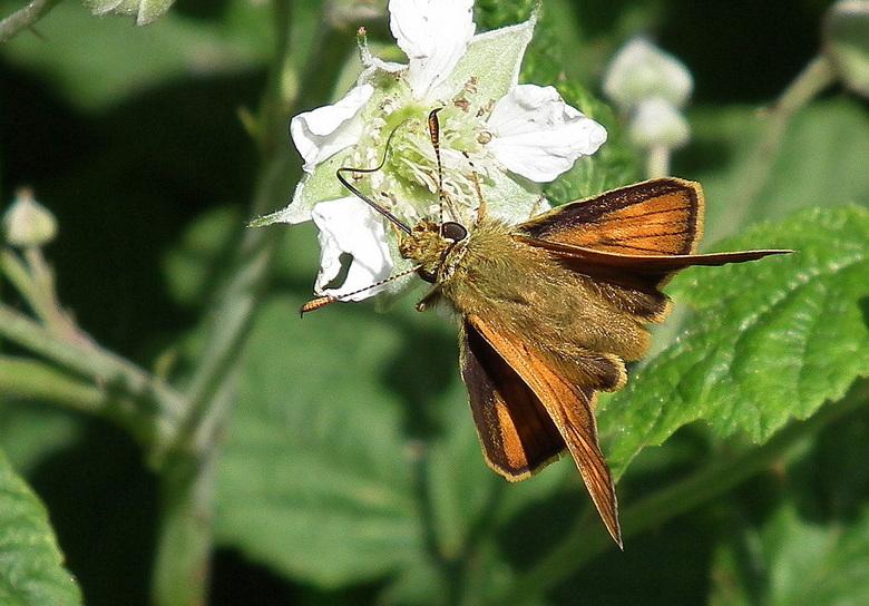 Dikkopje - Kijk naar de stand van de vleugels, heel apart, typisch voor de soort.
