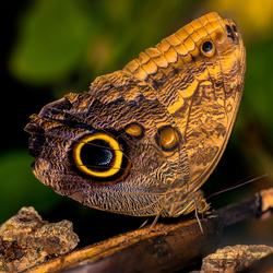 Uilvlinder met een vlieg op zijn vleugel