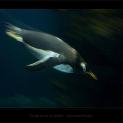 Duikende Pinguïn