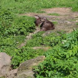Otters in Natuurpark Lelystad