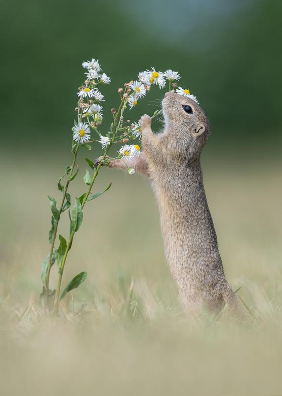 The smell of flowers - Momenteel ben ik in terug in Oostenrijk op de plek waar ik vorig jaar de wereldberoemde foto van de grondeekhoorn maakte. Ik he