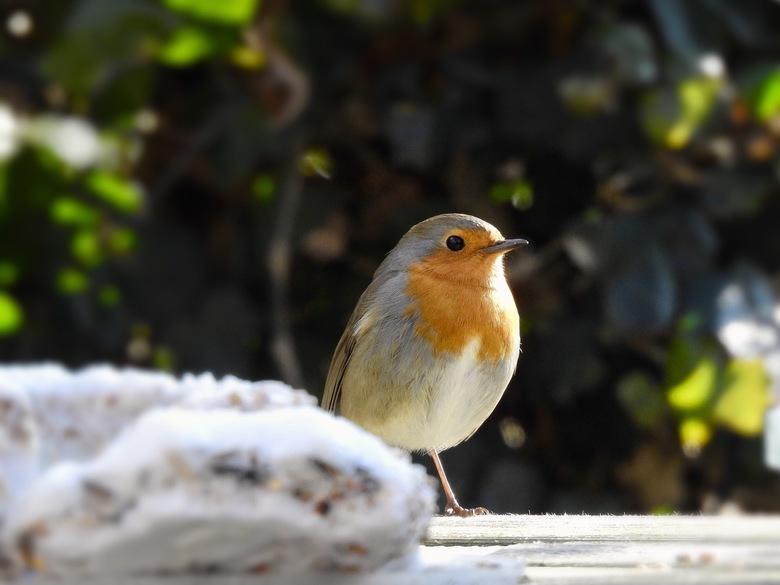 hongerig roodborstje - Hongerig roodborstje verbaasd bij een bevroren vogelvoertaart.
