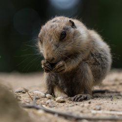 Little prairie dog