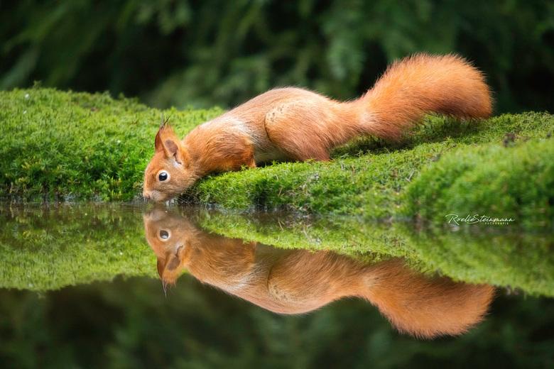 Spiegeltje spiegeltje  - Ze zijn zo leuk, de eekhoorntjes. Naast het verzamelen van eten, lijken ze vaak ook even de tijd te nemen om te spelen. Lekke