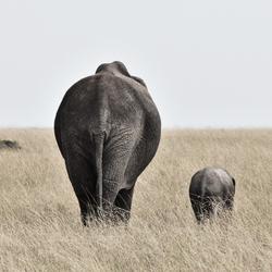 Olifant met kleintje in de Masai Mara