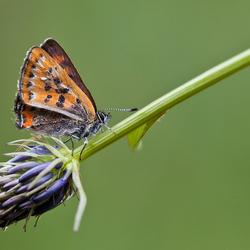 Blauwevuurvlinder