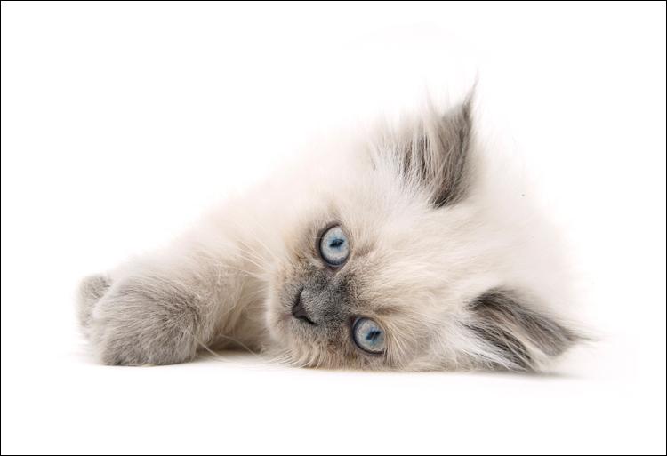Julie - Perzisch kitten @ 11 weekjes