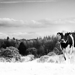 lost cow bw