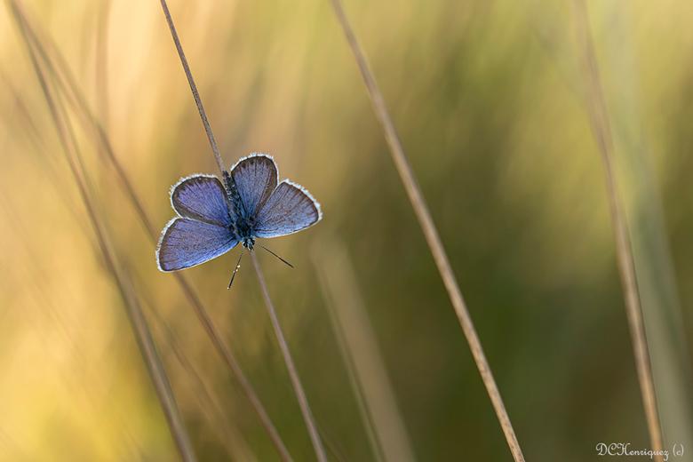 Heideblauwtje - Nog eentje dan maar nu het mannetje met open vleugels. <br /> <br /> Iedereen bedankt voor de fijne reacties bij mijn vorige opname.
