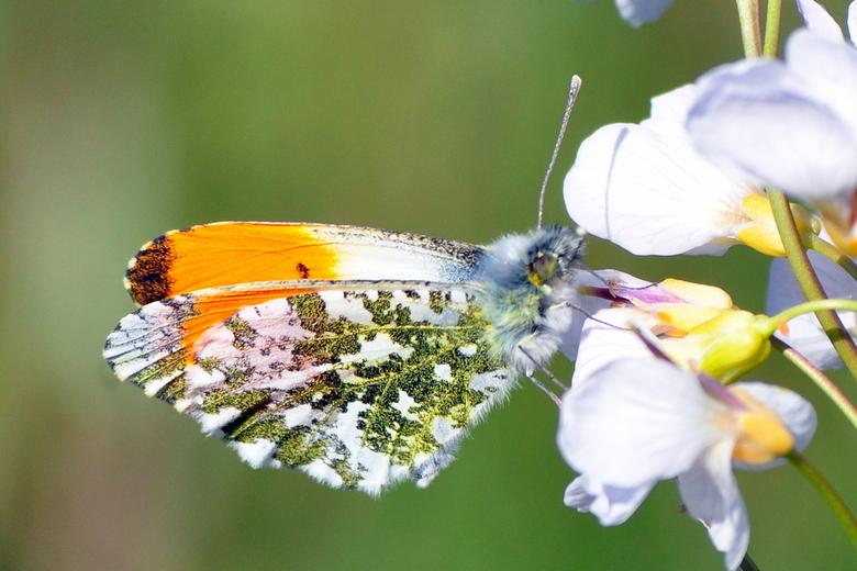 Oranjetipje  (Anthocharis cardamines) ♂ -