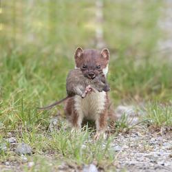 hermelijn met muis
