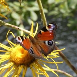 Dagpauwoog op zonnebloem