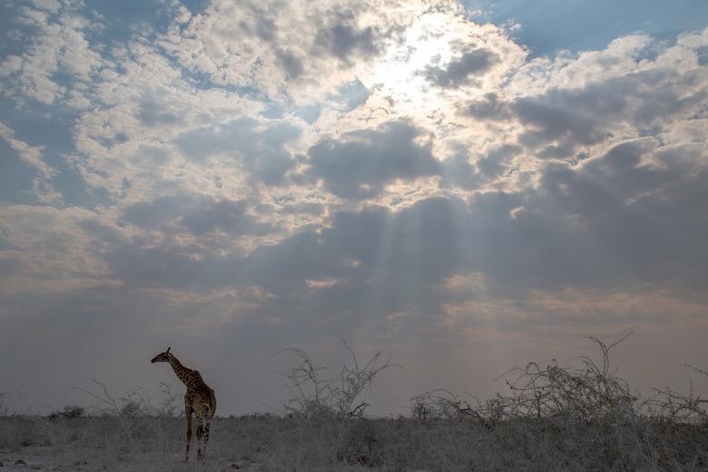 Giraf en zonnestralen -